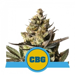 Royal CBG Automatic - ROYAL QUEEN SEEDS