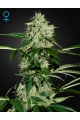 Northern Lights Auto - GREEN HOUSE SEEDS